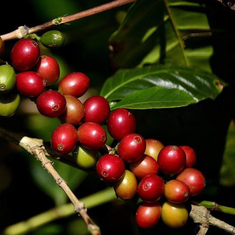 8 Ripening cherries.jpeg