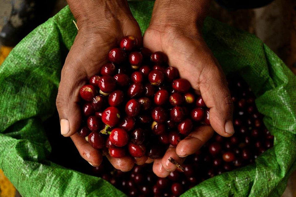 Dojrzałe owoce kawowca