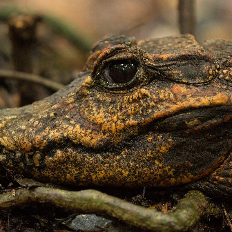 Jaskiniowe krokodyle 3.jpg