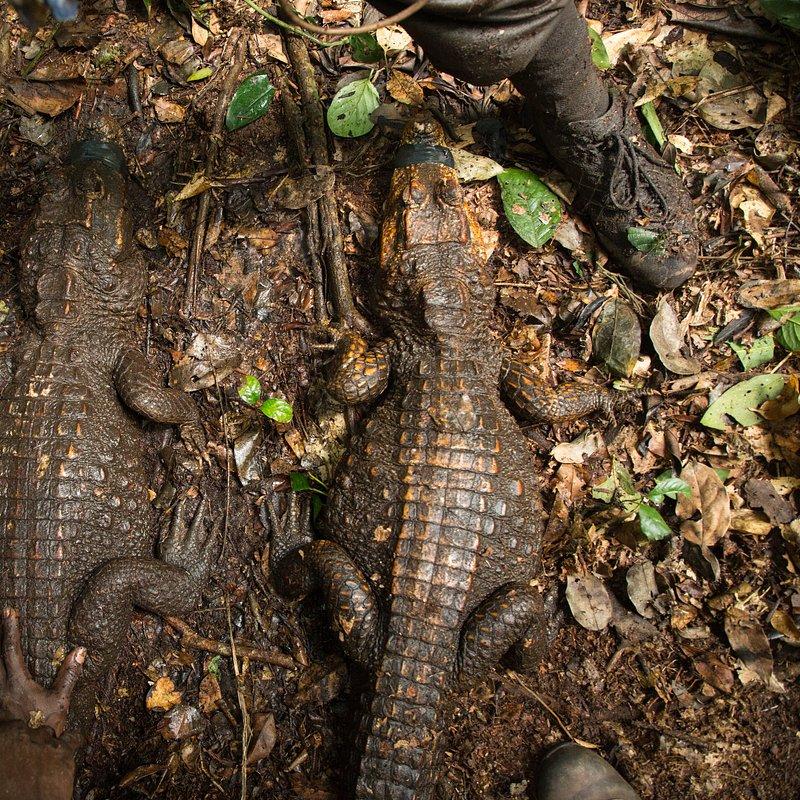Jaskiniowe krokodyle 2.jpg