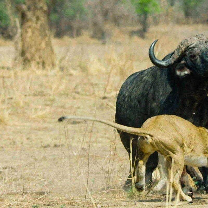 Najwięksi myśliwi Afryki 12.jpg