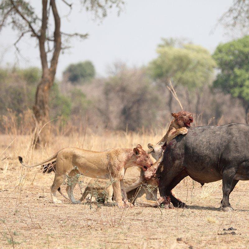 Najwięksi myśliwi Afryki 6.jpg