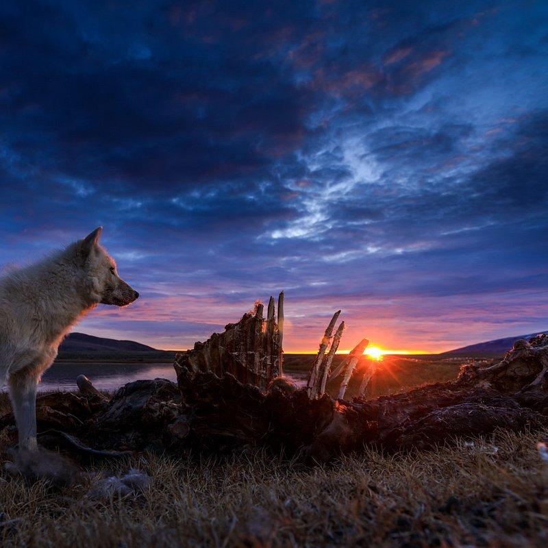 Królestwo białego wilka.jpg