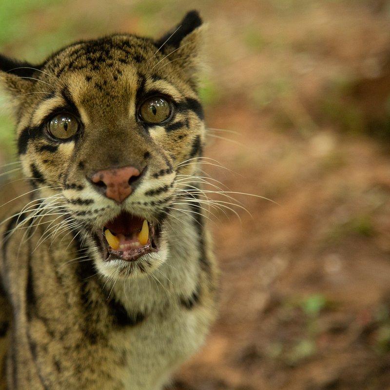 Dzikie koty Indii 2.jpg