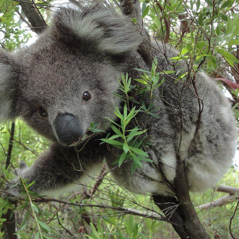 Koala_25_WildAustralia.jpg