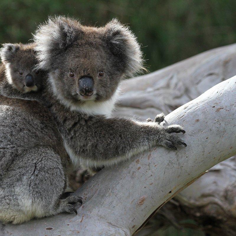 Koala_18_WildAustralia.jpg