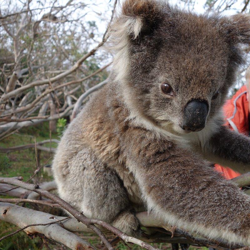 Koala_38_WildAustralia.jpg