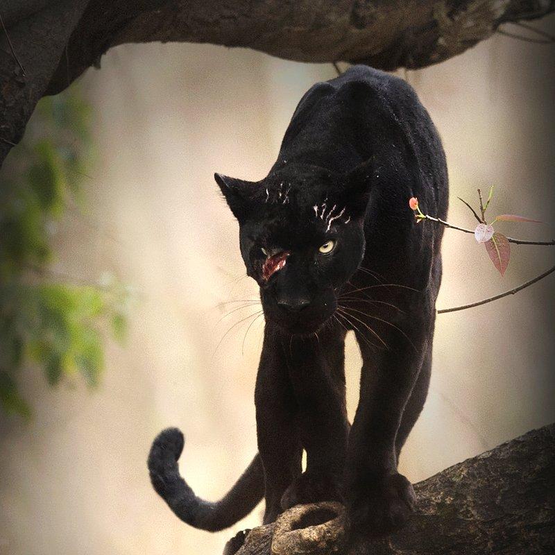 Czarna pantera 4.JPG
