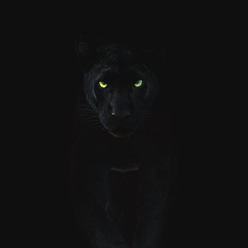 Czarna pantera.JPG