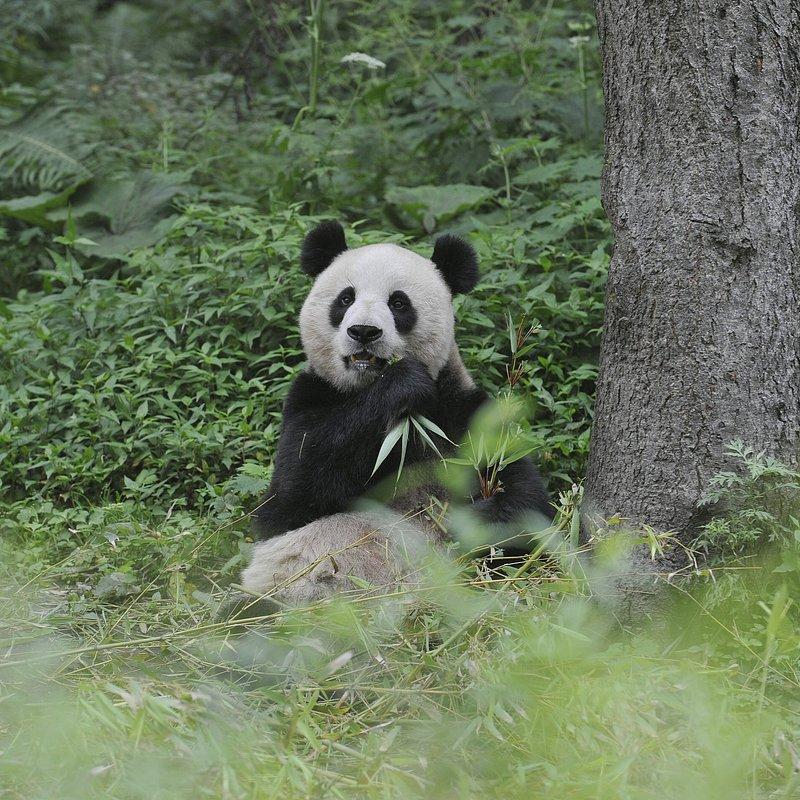 Pandy wielkie (2).jpg