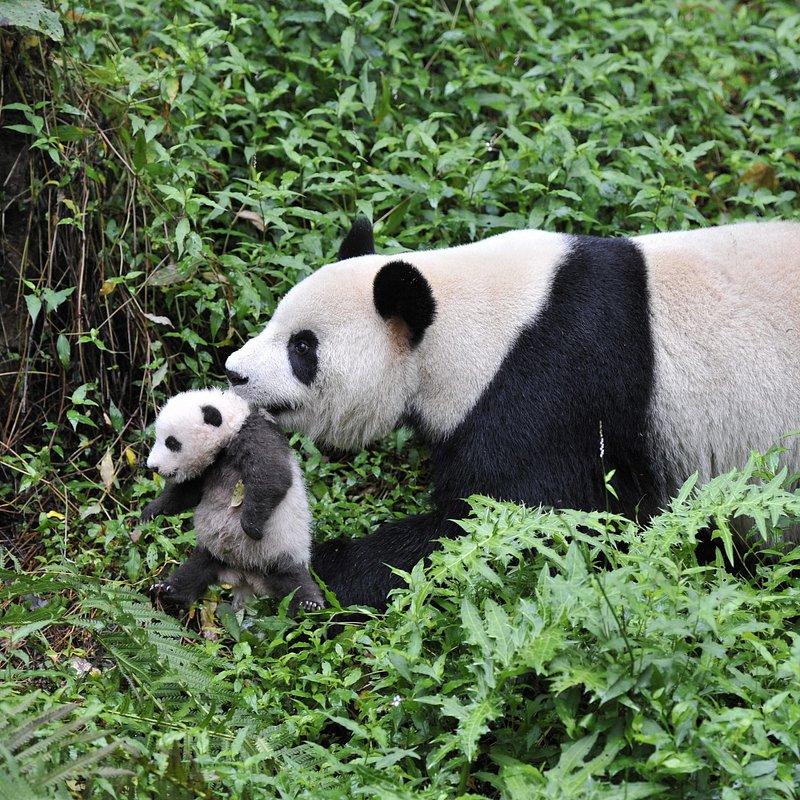 Pandy wielkie (3).jpg