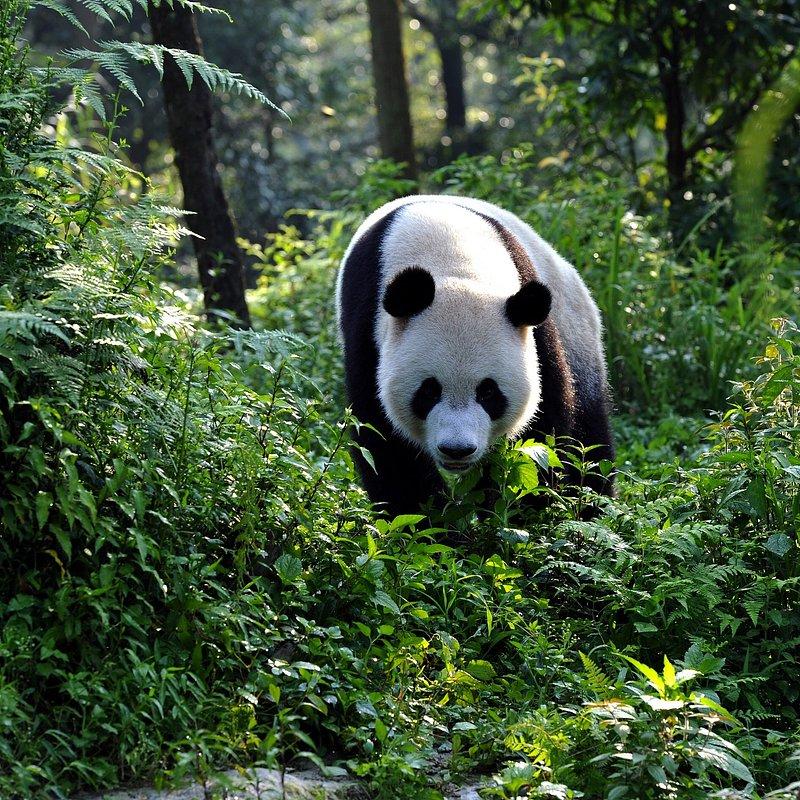 Pandy wielkie (1).jpg