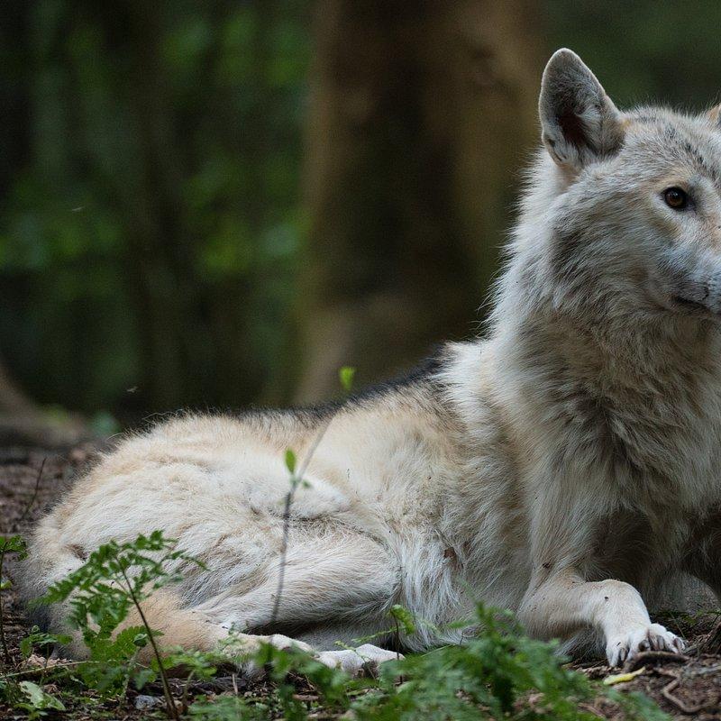 Wilk vs Niedźwiedź WolfVBear_02 (12).jpg