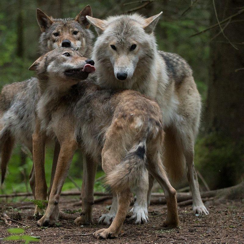 Wilk vs Niedźwiedź WolfVBear_02 (13).jpg