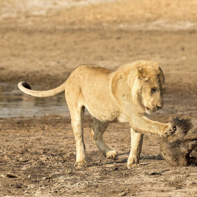 SavageKingdom_National Geographic Wilde (8).jpg