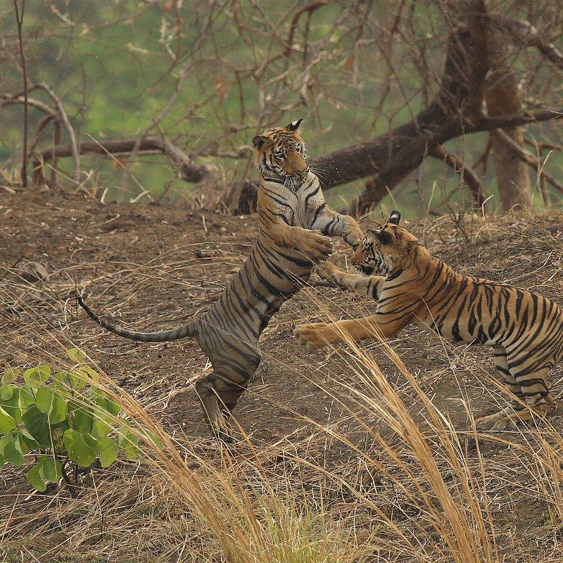 Tygrysia królowa z Taru_National Geographic Wilde (3).jpg