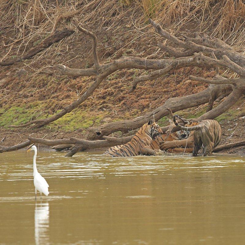 Tygrysia królowa z Taru_National Geographic Wilde (4).jpg