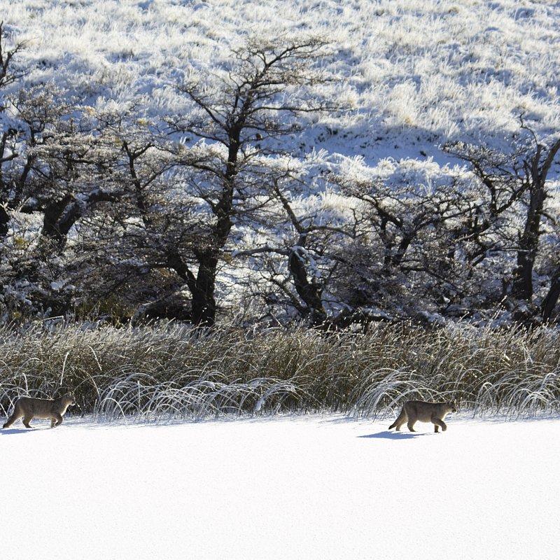 Puma na końcu świata walka o przetrwanie_National Geographic Wild (6).jpg