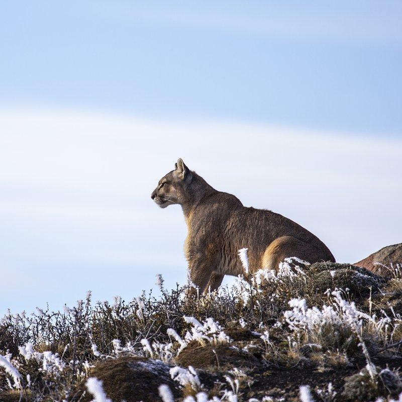 Puma na końcu świata walka o przetrwanie_National Geographic Wild (4).jpg