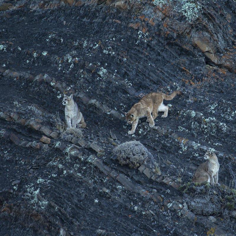 Puma na końcu świata walka o przetrwanie_National Geographic Wild (2).jpg