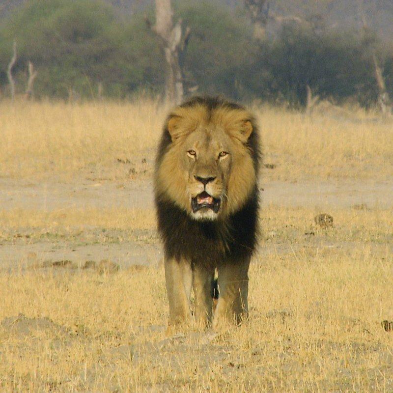 Cecil historia legendy_National Geographic Wilde (5).jpg