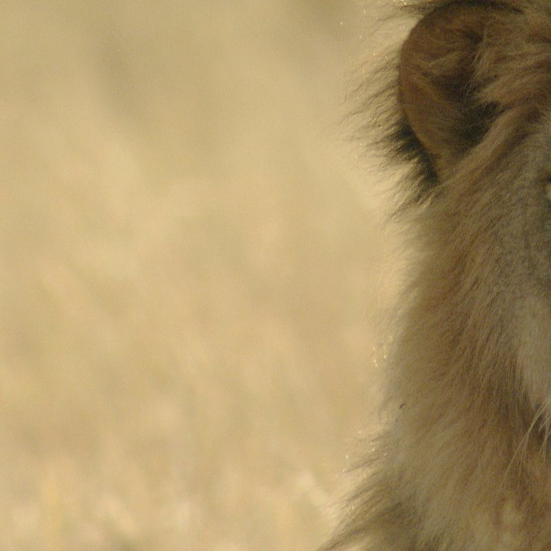 Cecil historia legendy_National Geographic Wilde (2).jpg