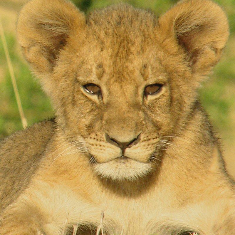 Cecil historia legendy_National Geographic Wilde (6).jpg