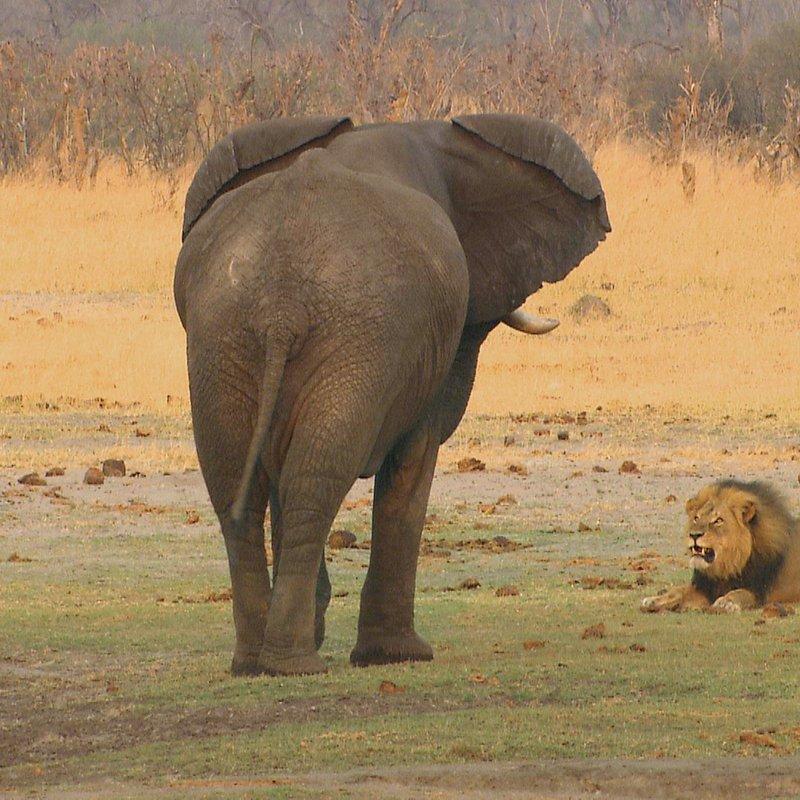 Cecil historia legendy_National Geographic Wilde (1).jpg
