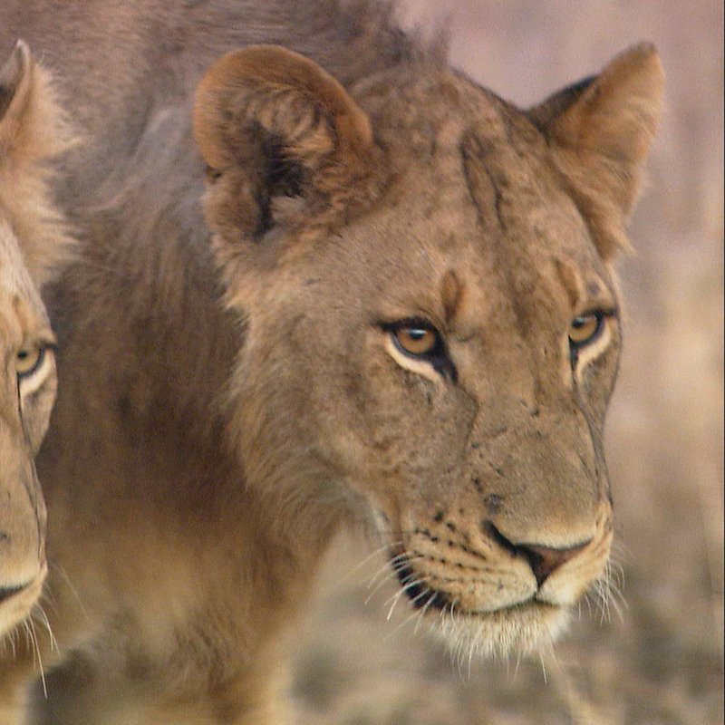 Cecil historia legendy_National Geographic Wilde (3).jpg