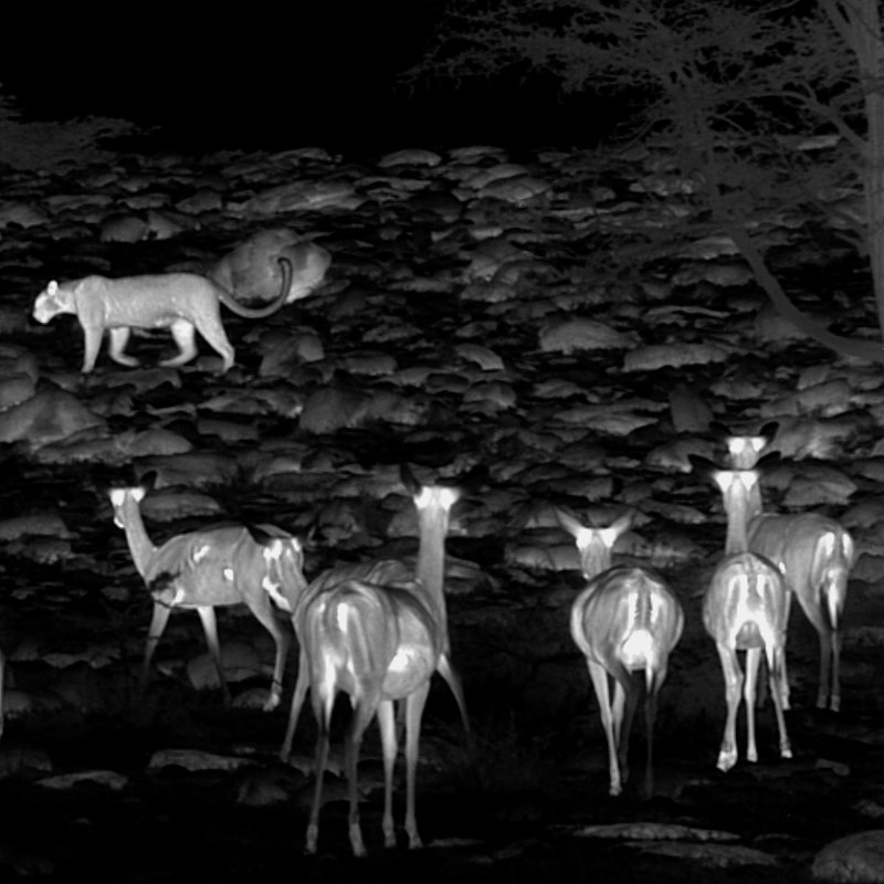 Zielonooka lamparcica_National Geographic Wild (2).JPG