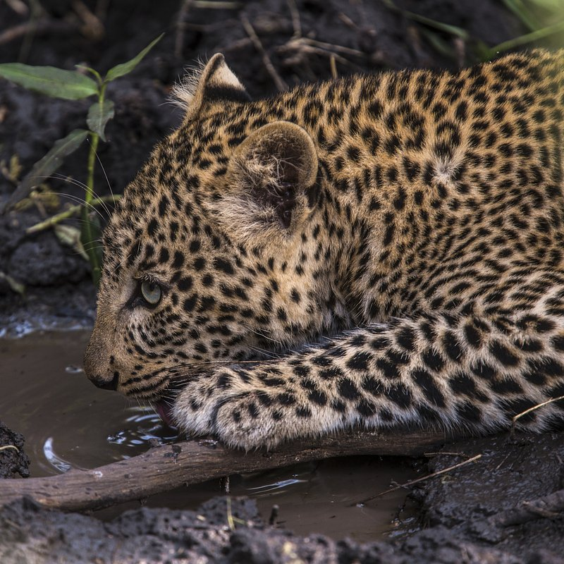 Zielonooka lamparcica_National Geographic Wild (8).JPG