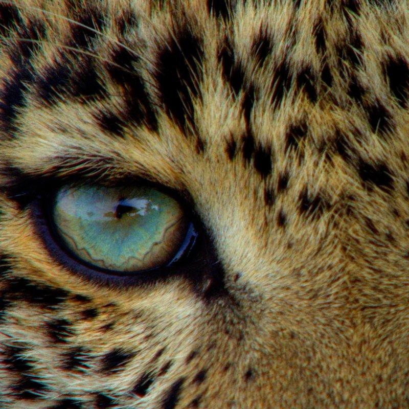 Zielonooka lamparcica_National Geographic Wild (13).JPG