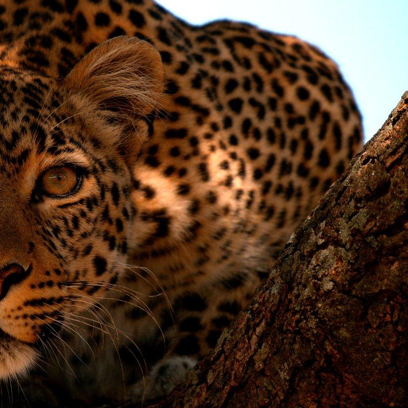 Zielonooka lamparcica_National Geographic Wild (14).JPG