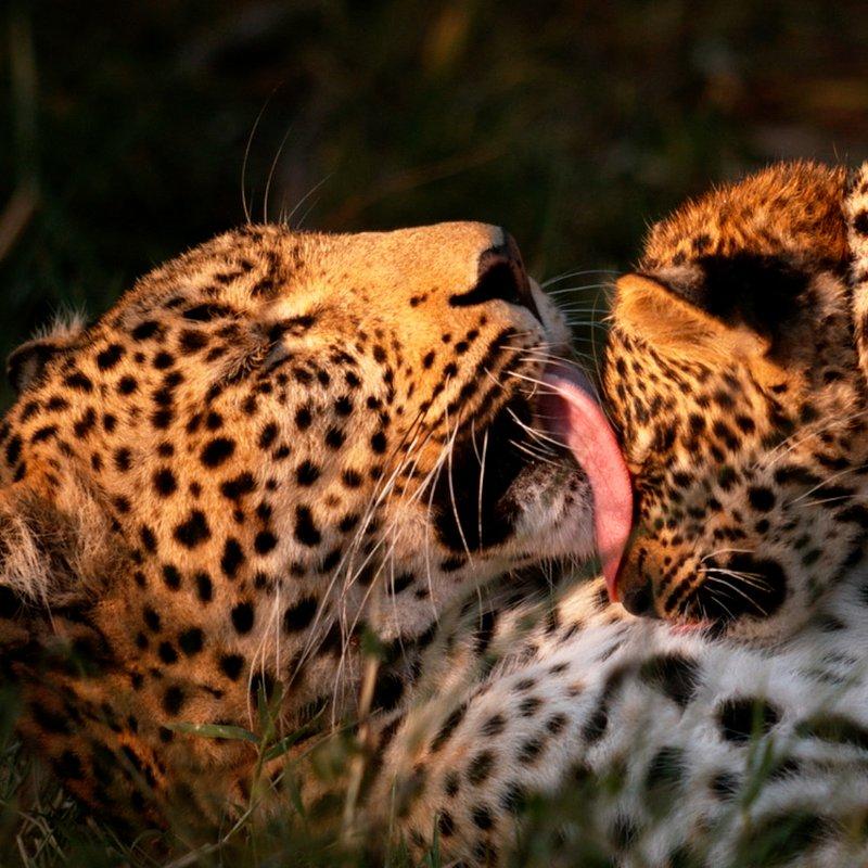 Zielonooka lamparcica_National Geographic Wild (15).JPG