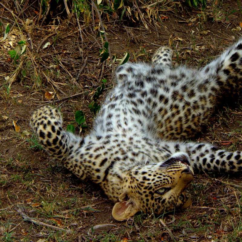 Zielonooka lamparcica_National Geographic Wild (12).JPG