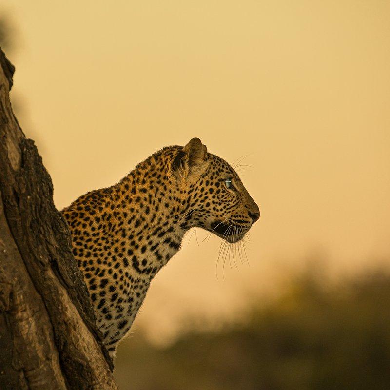 Dziedzictwo lamparcicy_National Geographic Wild (3).jpg