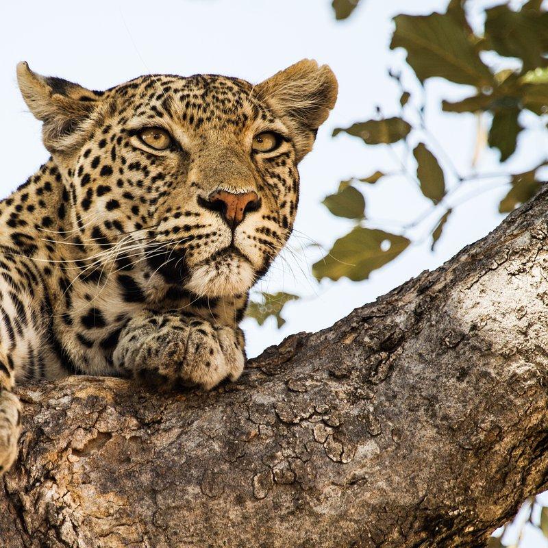 Hiena i lampart nietypowy sojusz_National Geographic Wild (1).jpg