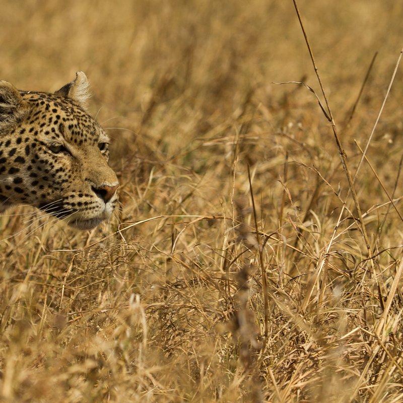 Hiena i lampart nietypowy sojusz_National Geographic Wild (2).jpg