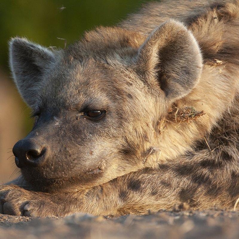Hiena i lampart nietypowy sojusz_National Geographic Wild (6).jpg