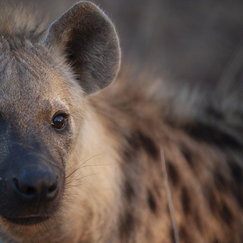 Hiena i lampart nietypowy sojusz_National Geographic Wild (8).jpg