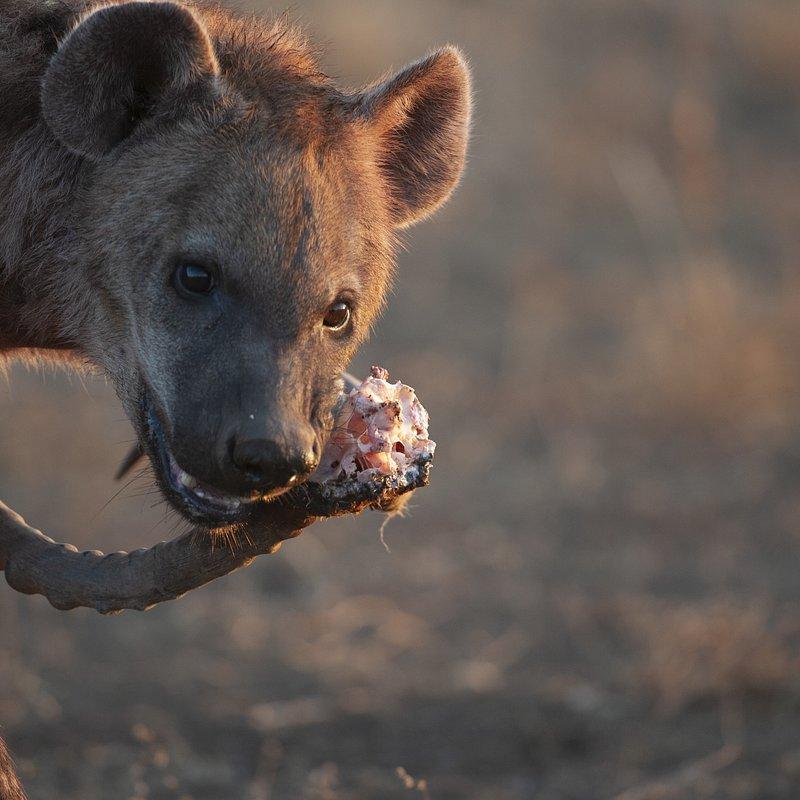Hiena i lampart nietypowy sojusz_National Geographic Wild (7).jpg