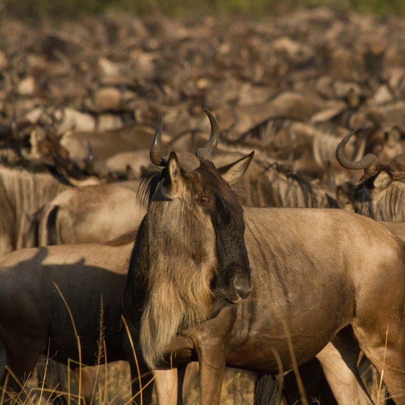 Gnu_walka o życie_National Geographic Wild (4).jpg