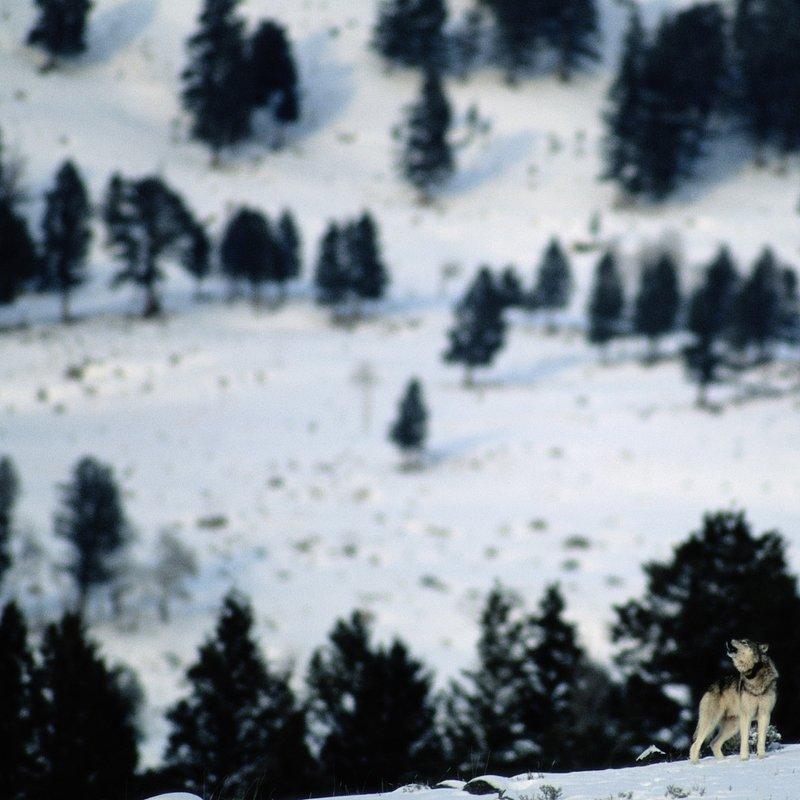 ThePack_YellowstoneWolfDynasty_03.jpg