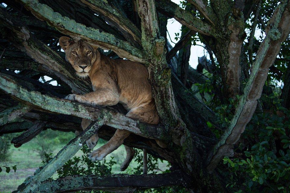 TreeClimbingLions_07.jpg