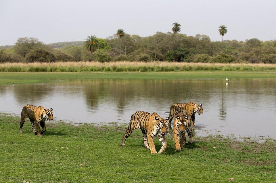 Tygrysia matka 8.jpg