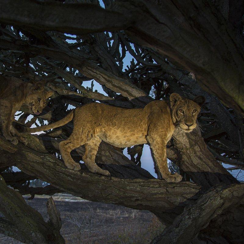 Lwy w koronach drzew 1.jpg