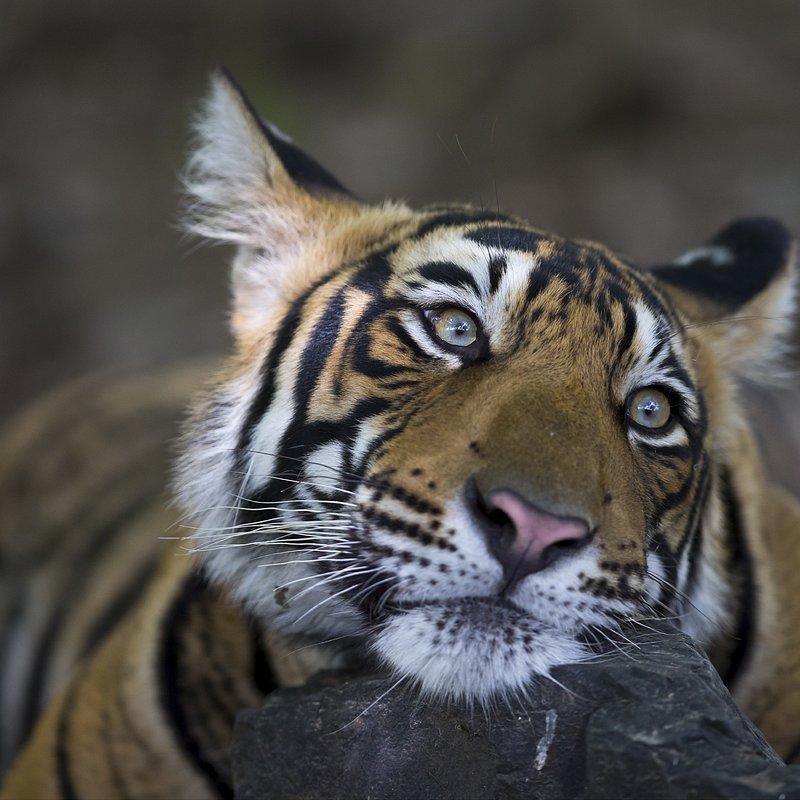 Tygrysia matka 3.jpg
