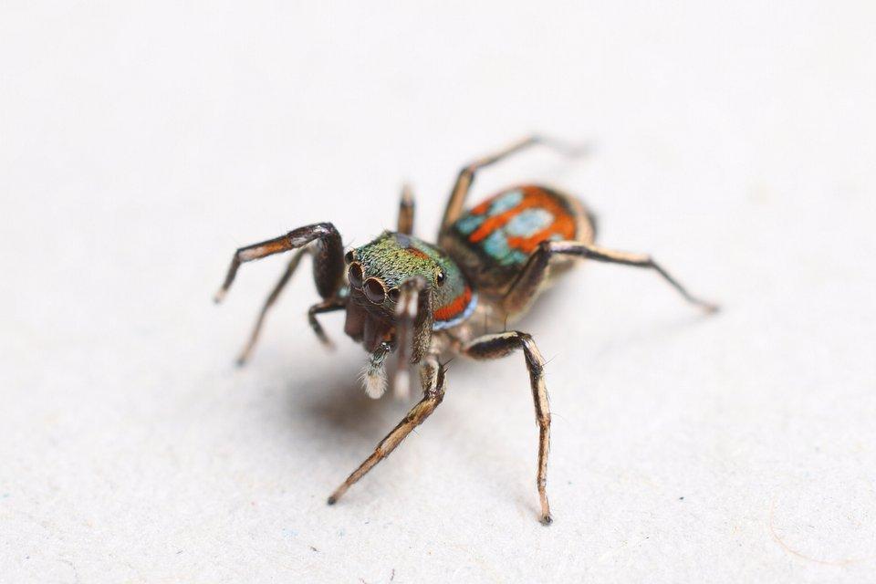 Siler semiglaucus - jeden z gatunków pająków badanych przez dra Ł. Trębickiego. (fot. dr. Ł. Trębicki)