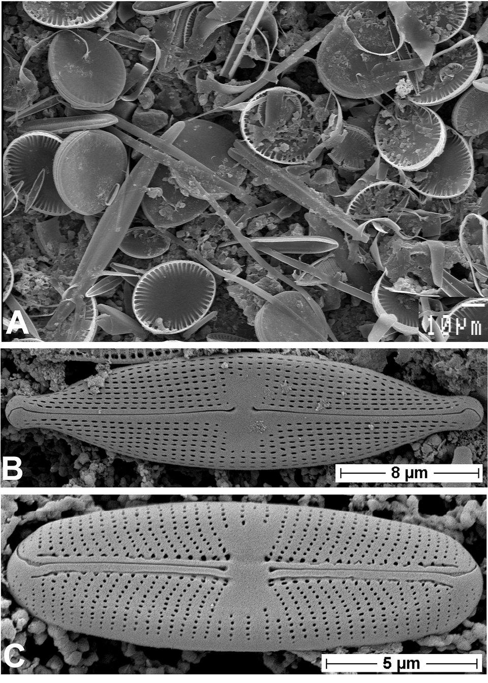 Fig. 2. Krzemionkowe skorupki okrzemek obserwowane w skaningowym mikroskopie elektronowym (SEM). A – zbiorowisko okrzemek, B – Navicula gregaria, C – Sellaphora pupula.