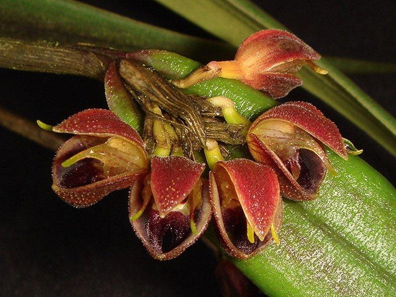 FOTO 4. Myoxanthus ortizianus.JPG